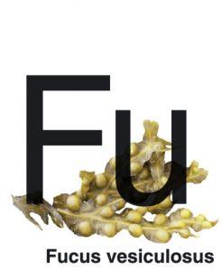fucus versculosus